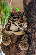 Nocturnal Animal Print Framed Prints - Clouded Leopard 2 Framed Print by Steve Harrington