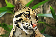Golden Leopard Framed Prints - Clouded Leopard Face Framed Print by Terri Mills