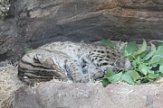 Clouded Leopard - National Zoo - 01131 Print by DC Photographer