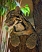 Steve Harrington Framed Prints - Clouded Leopard Framed Print by Steve Harrington