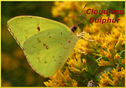 April Wietrecki Green - Cloudless Sulphur