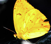 Fluttering Digital Art - Cloudless Sulphur Butterfly by Optical Playground By MP Ray