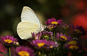 Cloudless Posters - Cloudless Sulphur Butterfly  Poster by Saija  Lehtonen