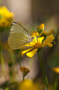 Cloudless Posters - Cloudless Sulphur  Poster by Saija  Lehtonen