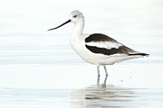 Bryan Keil - Cloudy day Avocet
