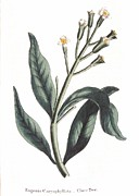 Leaf Drawings - Clove Eugenia Aromatica by Anonymous