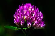 Clover Flower Print by Bob Orsillo