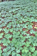 Forest Floor Photos - Clover by Jane Linders