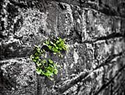 Andrew Crispi - Clover on the Wall