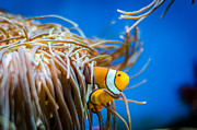 Anthony Morganti - Clown Fish and Anemone