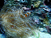 Clown Fish Photos - Clown fish and anemone by Elena Crouch