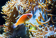 Clown Fish Photos - Clown Fish - Anemonefish swimming along a large anemone Amphiprion by Jamie Pham