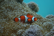 Clown Fish Photo Originals - Clown Fish at Play by Jaymes Grossman
