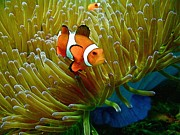 Clown Fish Photos - Clown fish  by Gary Bridger