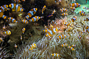 Clown Fish Photos - Clown fish by Nathalie MEYER