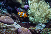 Clownfish Prints - Clownfish 1 Print by Douglas Barnett