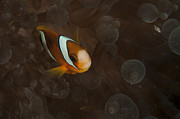 Clownfish Prints - Clownfish Print by Aleksandra Bartnicka