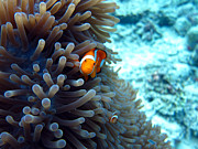 Laura Hiesinger Metal Prints - Clownfish Borneo Metal Print by Laura Hiesinger