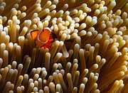 Fototrav Print - Clownfish hiding in...