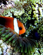 Martha Lyle - Clownfish In Anemone