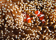Clown Fish Photo Prints - Clownfish in Coral  Print by Fototrav Print