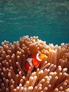 Clown Fish Photo Prints - Clownfish in Coral garden Print by Fototrav Print
