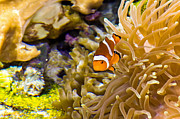 Kate Brown - Clownfish