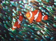 Clown Fish Originals - Clowning Around  by Nick Knezic
