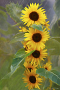 David Simons Art - Cluster of Sunflowers by David Simons