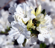 Eva Thomas - Cluster of White Azaleas
