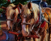 Carriage Horse Photos - Clydesdale-Drawn Carriage  by Lee Dos Santos