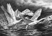 Swans... Drawings - Co-Ordinated Chaos by Peter Williams