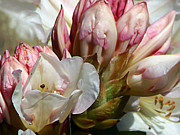 State Flowers Photos - Coast Rhododendron by Pamela Patch