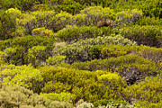 Australian Bush Prints - Coastal Greens Print by Rick Piper Photography