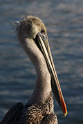 Joanna Williams - Coastal Pelican