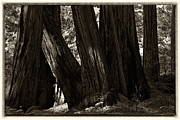 Eugene Dailey - Coastal Redwoods