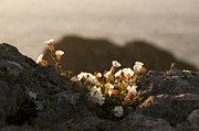 Backlighting Prints - Coastal Sea Campion Print by Anne Gilbert