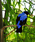 Cobalt Blue Feathers - Raven Print by Maria Martinez