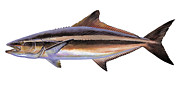 Yellowtail Framed Prints - Cobia Framed Print by Carey Chen