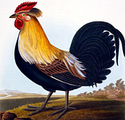 Cock Print by CLE Perrott