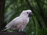 Cockatoo Metal Prints - Cockatoo Metal Print by Athala Carole Bruckner