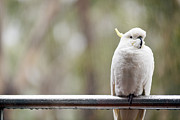 Pet Cockatoo Photos - Cockatoo In Rain by Tim Hester