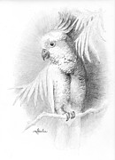 Cockatoo Drawings Framed Prints - Cockatoo pencil study Framed Print by Minnie W Shuler