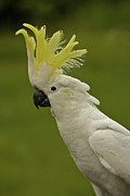 Australian Open Metal Prints - Cockatoo Portrait 1 Metal Print by Heng Tan