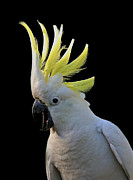 Australian Open Metal Prints - Cockatoo Screeching Metal Print by Heng Tan