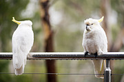 Pet Cockatoo Prints - Cockatoos In Rain Print by Tim Hester