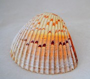Mary Deal - Cockle Shell