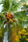 Sri Lanka Posters - Coconut Palm In Tropical Garden Poster by Regina Koch