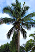 Drupe Framed Prints - Coconut Palm Tree Framed Print by Karon Melillo DeVega