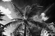 Coconut Palm Tree Posters - Coconut Palm Tree Next To Hotel Buildings Fort Lauderdale Beach Florida Usa Poster by Joe Fox